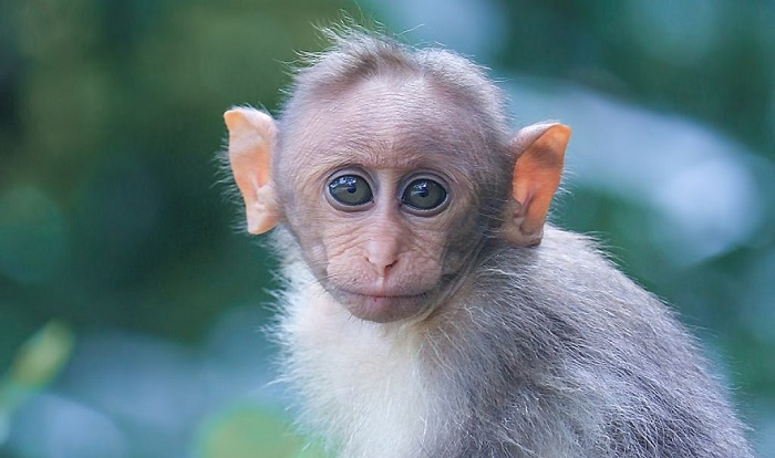 مشخصات کلی متولدین سال میمون